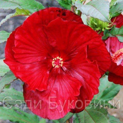 Гибискус садовый Cranberry Crush (саженцы)
