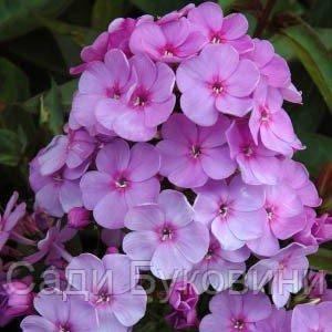 Флокс Lilac Time (саженцы)