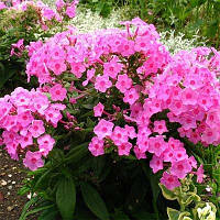 Флокс Flame Pink (саженцы), фото 1