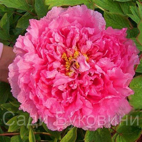 Пион Pink Water-lily Rou Fu Rong древовидный (саженцы)