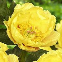 Пион ITOH Garden Treasure (корневища)