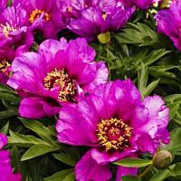Пион ITOH Morning Lilac (корневища)