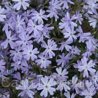 Флокс Early Spring Lavender (саженцы)