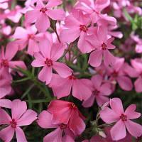 Флокс Early Spring Dark Pink (саженцы)