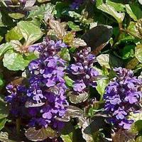 Аюга Purple Brocade (саженцы)