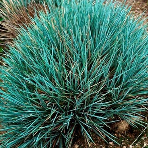 Андропогон прутьевидный Prairie Blues