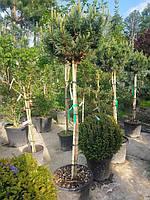 """""""Сосна обыкновенная """"""""Ватерери""""""""  Pinus Sylvestris Watereri  1/2 STD"""" C35L"""