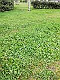 Клевер белый 300г семена 100% можно добавлять в газон использовать как цветущий карликовый, фото 5