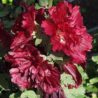 Штокроза Crimson (саженцы)
