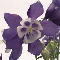 Аквилегия Spring Magic Blue & White (саженцы)