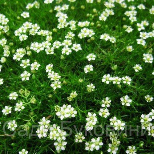 Мшанка Green Moss (саженцы)