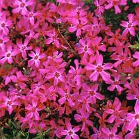 Флокс Crimson Beauty (саженцы), фото 1