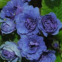 Примула Blue Sapphire (саженцы)