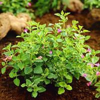 Каламинта Grandiflora (саженцы)