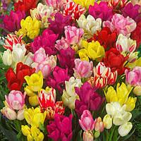 Тюльпан Семейные Микс (луковицы)