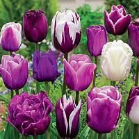 Тюльпаны Монет Микс (луковицы)