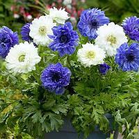 Анемоны Blue and White Микс (луковицы)
