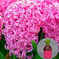 Гиацинт Pink Pearl (горшок 7 см) (луковицы в горшках)