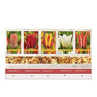 Шоубокс Тюльпаны Грейга (луковицы)