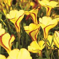 Оксалис (кислица) Versicolor Golden Cape (клубни)
