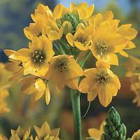 Орнитогалум Dubium Yellow (луковицы)
