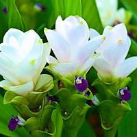 Куркума White Wonder (клубни)