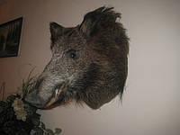 Чучело голова кабана Чучела и украшения из животных