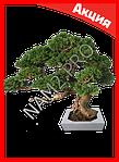 Бонсай - карликовые деревья в миниатюре, фото 2