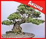 Бонсай - карликовые деревья в миниатюре, фото 3