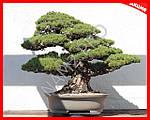 Бонсай - карликовые деревья в миниатюре, фото 4