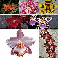 """Набор из двух подростков орхидей камбрий, цвет сюрприз. Без цветов, размер 1.7"""""""