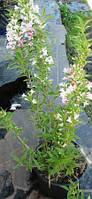 Вейгела цветущая Сплендид. Контейнер 12л.