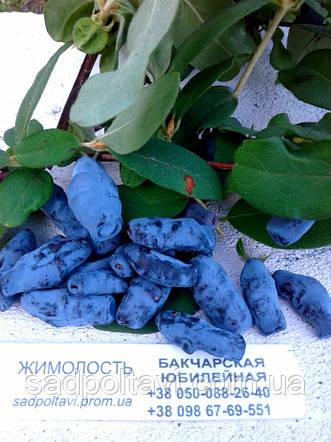 Саженцы жимолости Бакчарская юбилейная в конт 3л, фото 2