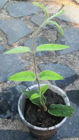 Жимолость японская вечнозеленая. Укорененный черенок в Д5.