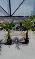 Финиковая пальма