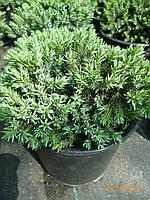 Можжевельник чешуйчатый Блу Стар (Juniperus squamata Blue Star) контейнер с грунтом 5л