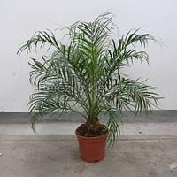 Финиковая пальма, фото 1
