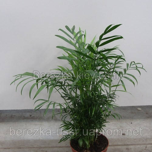 Хамедорея пальма 60см.
