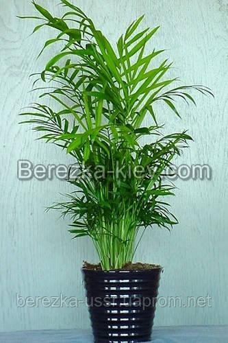 Хамедорея пальма 1,4-1,5м.