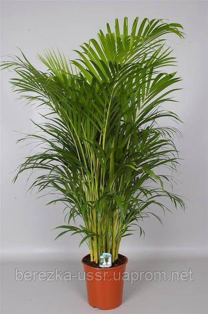Пальма Арека 50-65см.