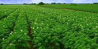 Как поляки выращивают картофель для McDonald's