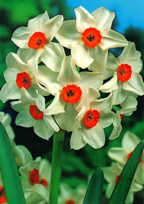 Луковицы многоцветковых нарциссов Geranium 2 шт