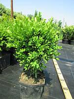 Самшит вечнозелёный C3 Buxus sempervirens