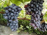 Саженец винограда Юпитер
