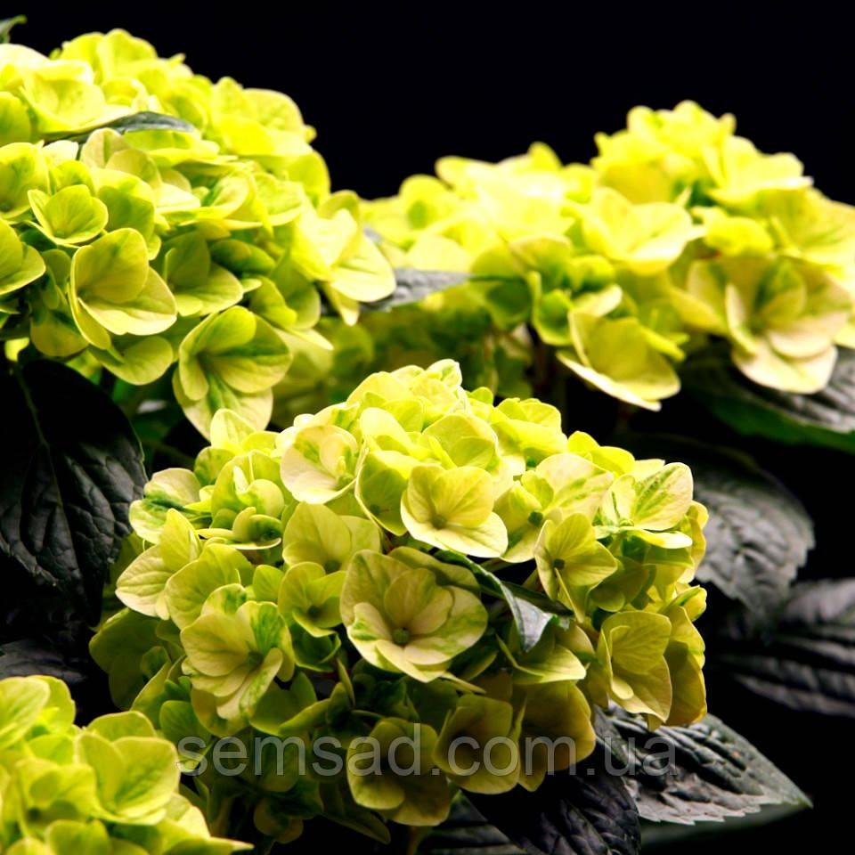 "Гортензия крупнолистная "" Мэджикал Перл - Напо"" \ Hydrangea macrophylla Magical Napo саженцы )"