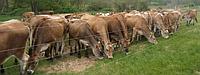 Электропастух для коров (гарантия 1 год)