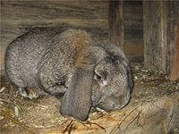 Кокцидиоз у кроликов.
