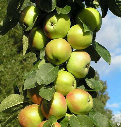 Летние сорта яблук