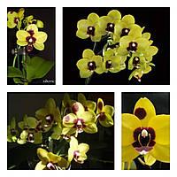 "Орхидеи фаленопсис желтая мультифлора, размер 2.5"" без цветов"