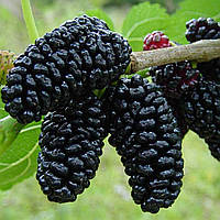Шелковица чёрная (контейнер 15л, 3 года)